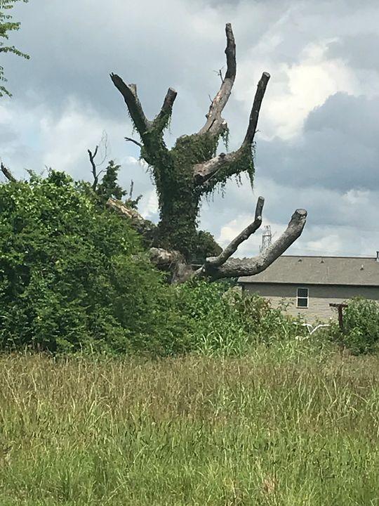 Old Tree - Daniel Poor