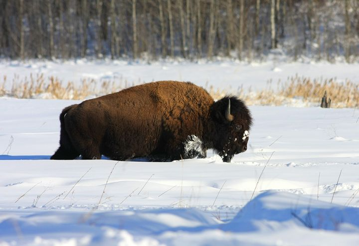 Winter Buffalo - Awesome Nature