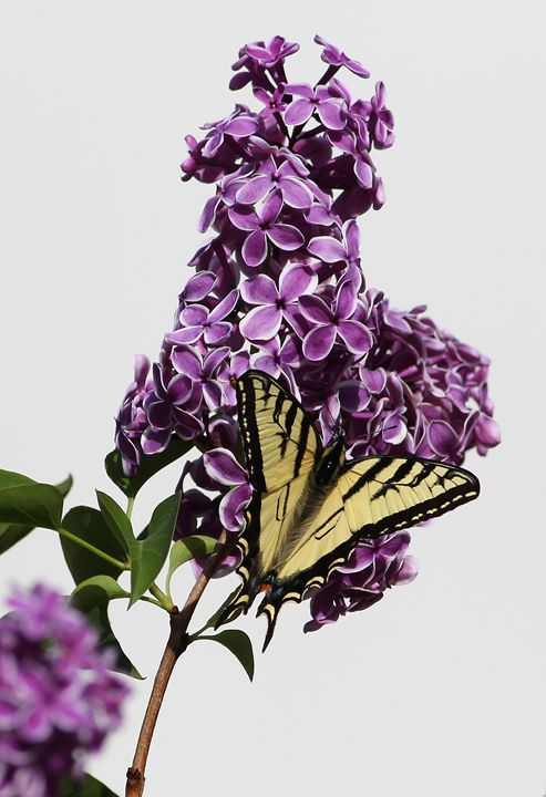 Butterfly Lilac - Awesome Nature