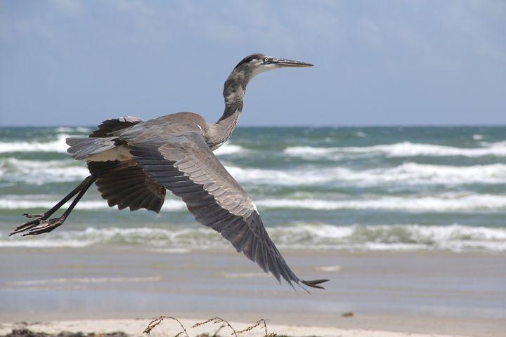 Heron Takeoff - Awesome Nature