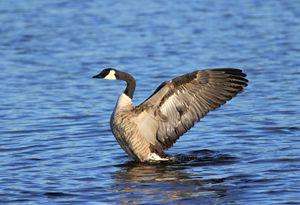 Goose Stretch