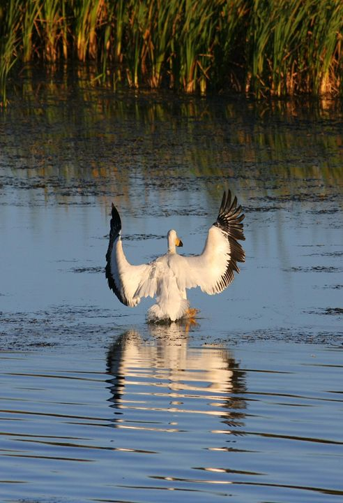Pelican Landing - Awesome Nature