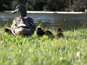 Mother Mallard and Ducklings