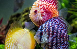 Discus fishes in aquarium