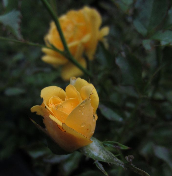 Yellow rose - The Artful Codger