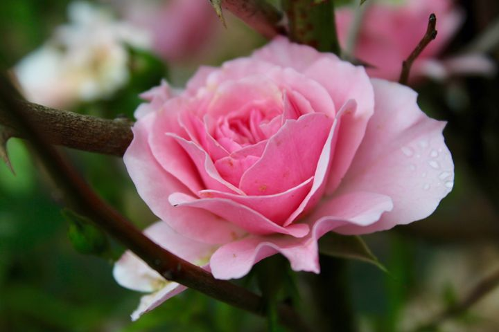 Pink Rose - The Artful Codger