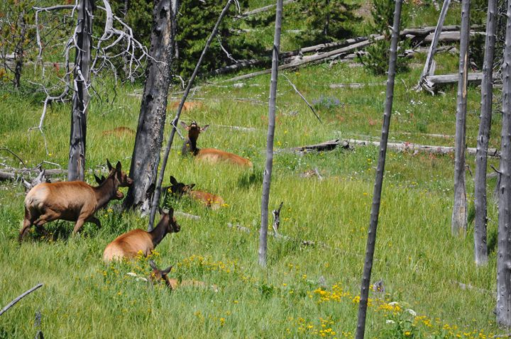 Elk in the Woods - Scenic America Photography