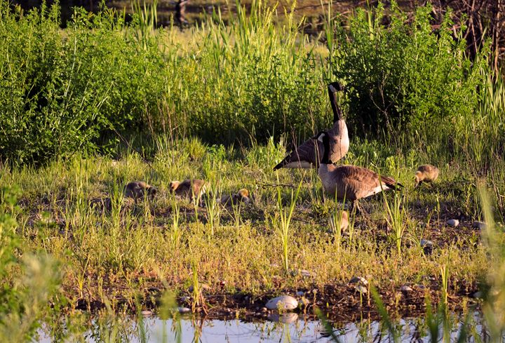 Family of Canadian Geese - Scenic America Photography
