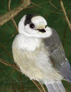 Little Grey Jay