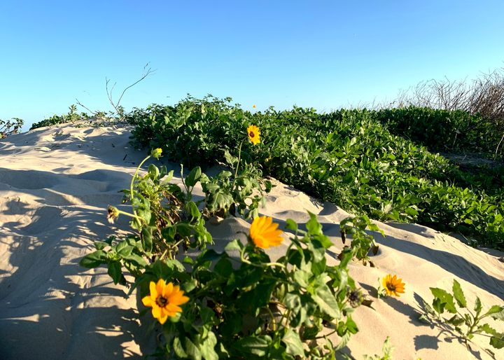 Flowers Blooming in the Dunes - T.A.Garcia