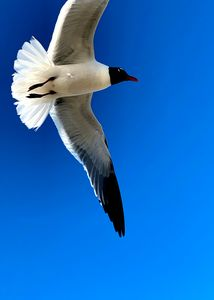 Seagull Galveston Photo