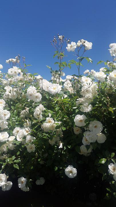 white roses - nanakavelashvili