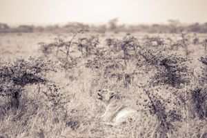 Lioness in shrubs