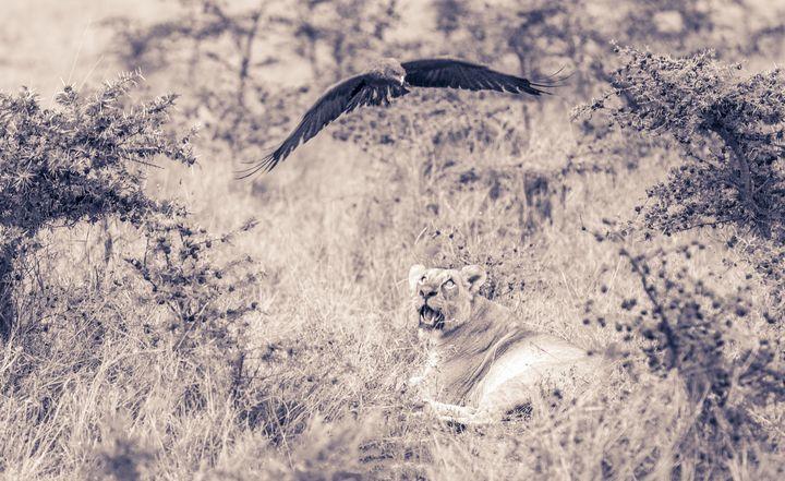 Lioness  gazing - antonytrivet