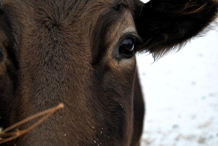 Momma Cow - Clark Photography