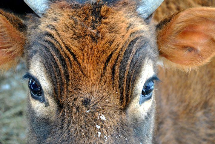 Calf Beauty - Clark Photography