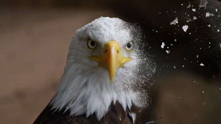 Eagle Dispersion - DigitalArtDesigns