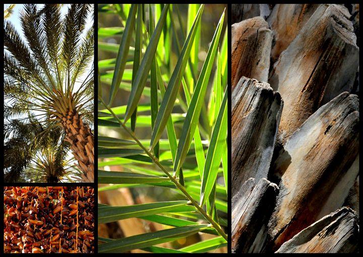 tunisia palm tree - Bouzana Léandre
