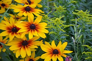Yellow rudbeckia flowers