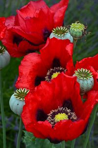 Beautiful red poppies - Perl Photography