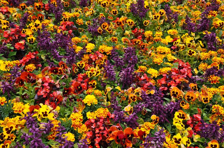 Colorful marigolds and pansies - Perl Photography