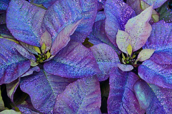 Purple christmas poinsettia - Perl Photography