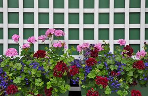 Colorful geranium planters