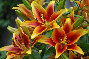 Orange and yellow lilies