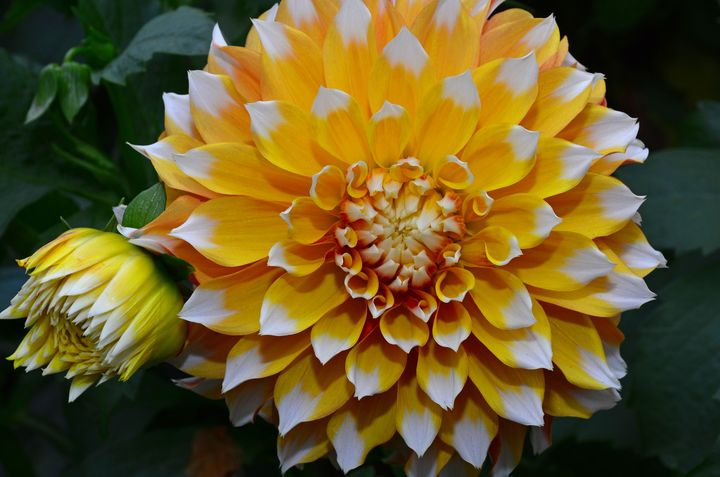White and yellow dahlia - Perl Photography