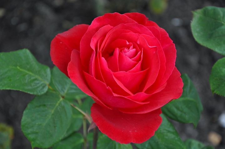 Single red rose - Perl Photography