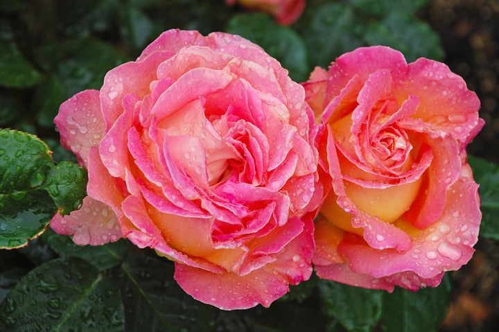 Two beautiful pink roses - Perl Photography
