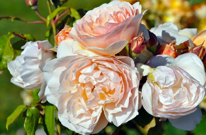 Light pink roses in full bloom - Perl Photography