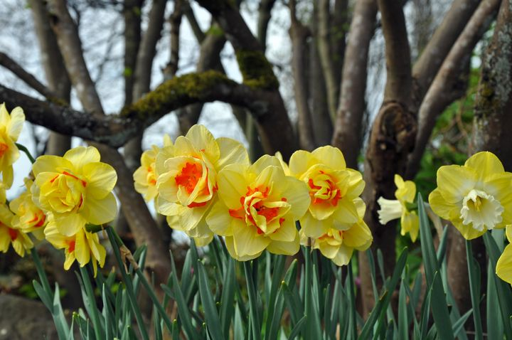 Yellow daffodil beauties - Perl Photography