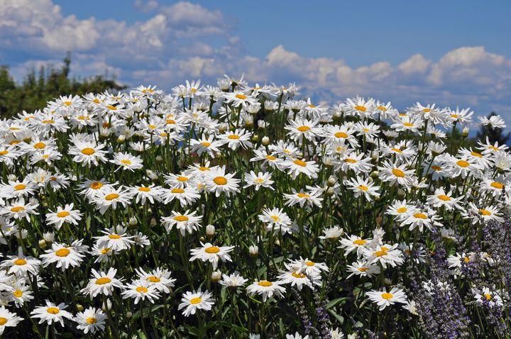 White daisy garden - Perl Photography