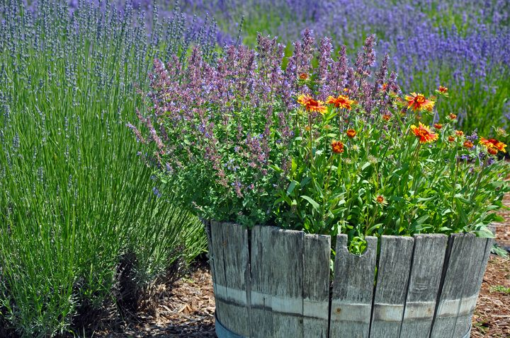 Lavender garden planter - Perl Photography