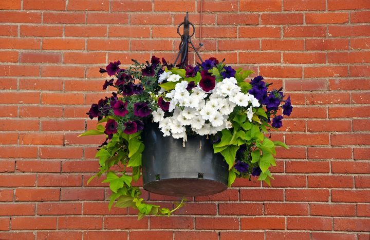 Colorful petunias hanging basket - Perl Photography