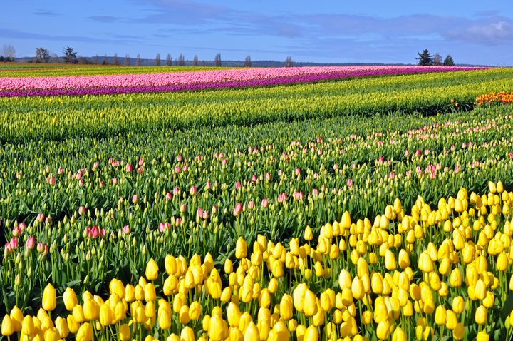 Colorful spring tulip fields - Perl Photography