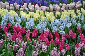 Colorful rows of spring hyacinth
