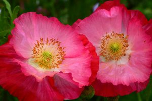Two pink poppies