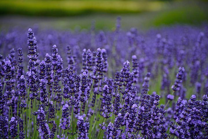 Fragrant purple lavendar - Perl Photography