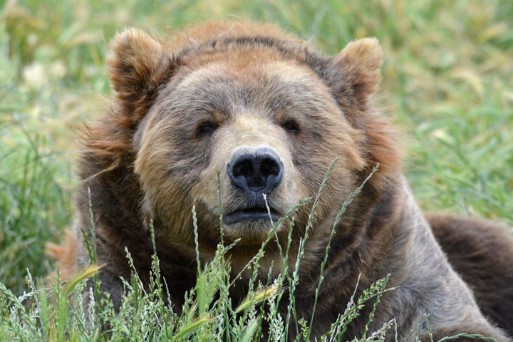 Brown kodiak bear - Perl Photography