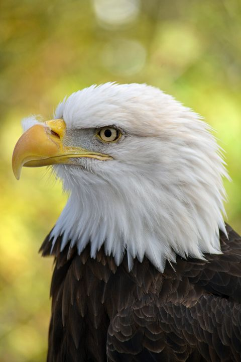 American bald eagle - Perl Photography