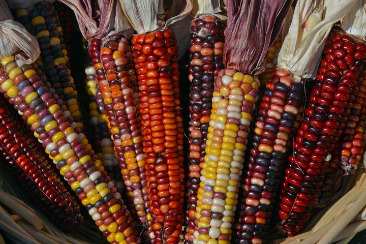 Colorful indian corn - Perl Photography