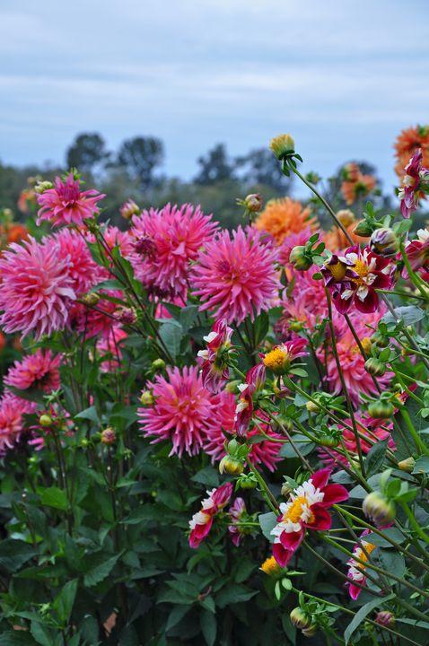 Beautiful Dahlia Garden   Perl Photography