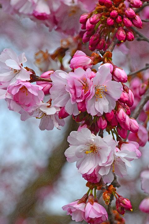 Beautiful cherry blossoms - Perl Photography