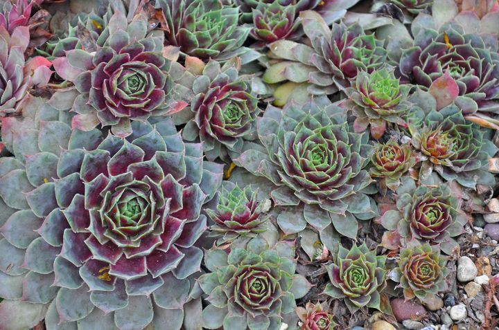 Colorful hens and chicks plants - Perl Photography