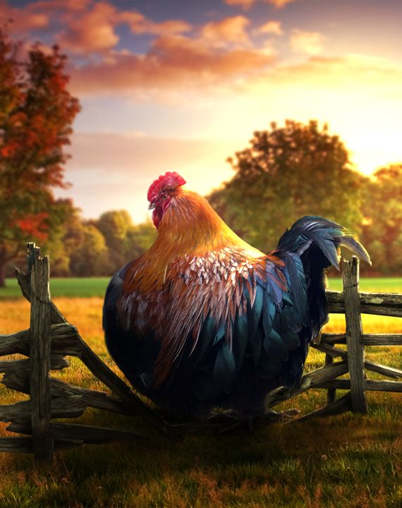 Fat Rooster - BrunoSousa