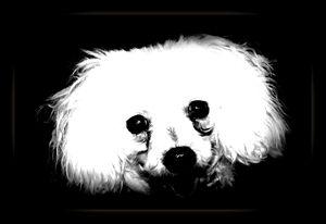 Poodle - Expressive Images