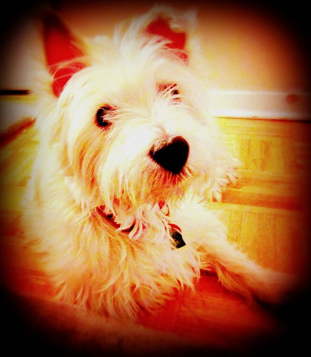 Suger the Westie - Expressive Images