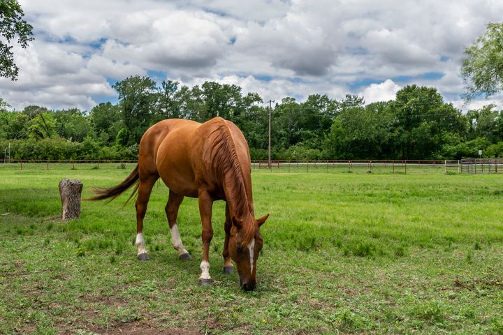 Brown Horse with White Blaze Grazing - Photography by Stretch